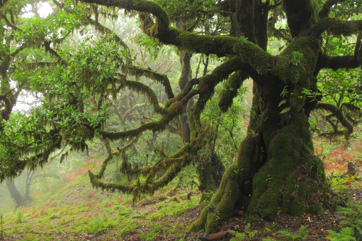 Madeira Fanal Feenwald