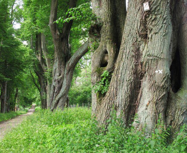 Alte Linden in Wotersen | Waldspaziergang.org