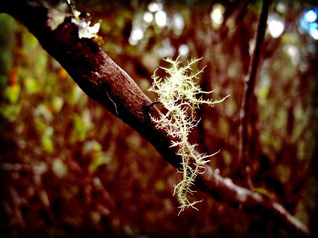 Madeira Flechte | Waldspaziergang.org